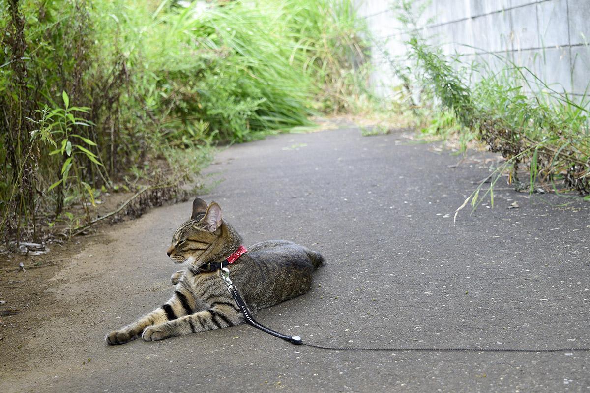 通路でうとうとするキジトラ猫の虎ノ介