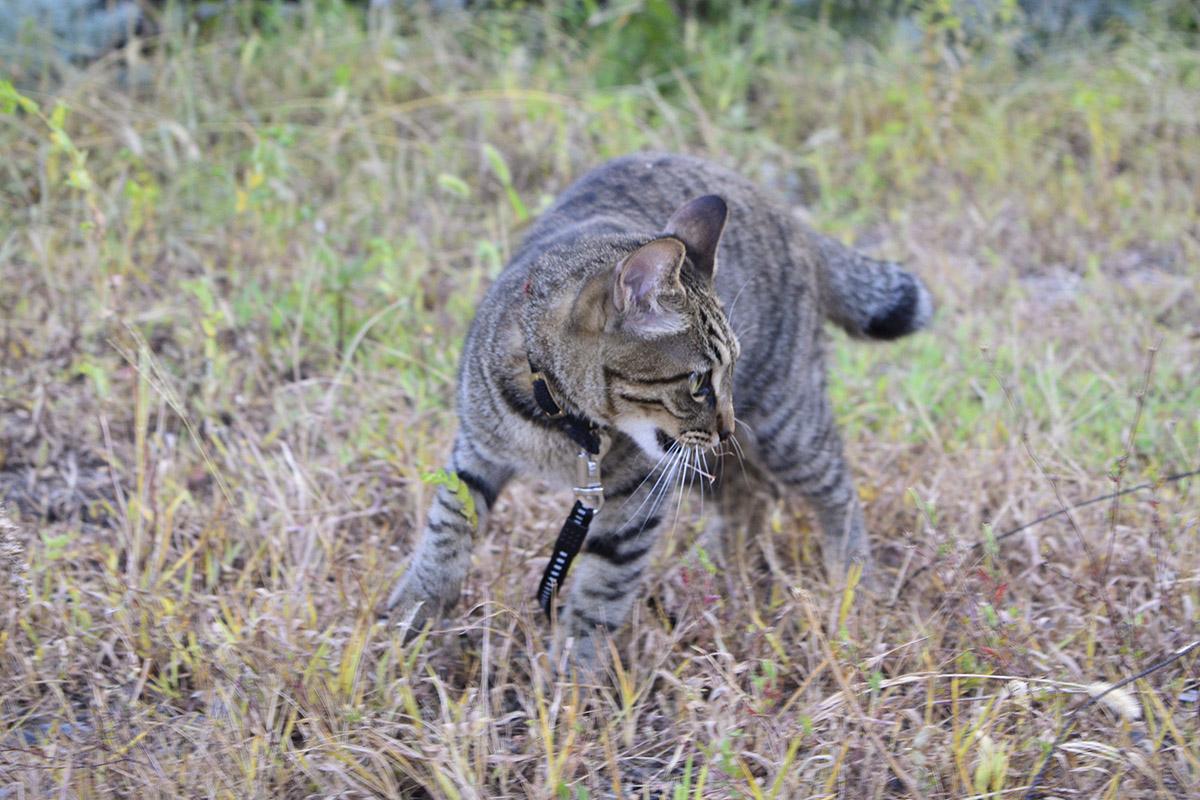 殿様バッタを咥えて歩くキジトラ猫の虎ノ介