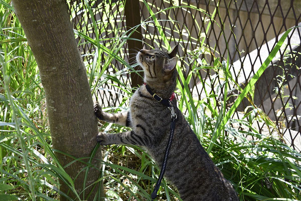 蝉をみつけて木の上を見つめるキジトラ猫の虎ノ介
