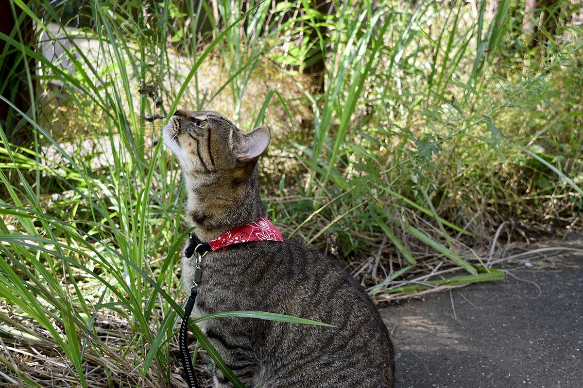 あきらめて下のほうで蝉を見上げるキジトラ猫の虎ノ介