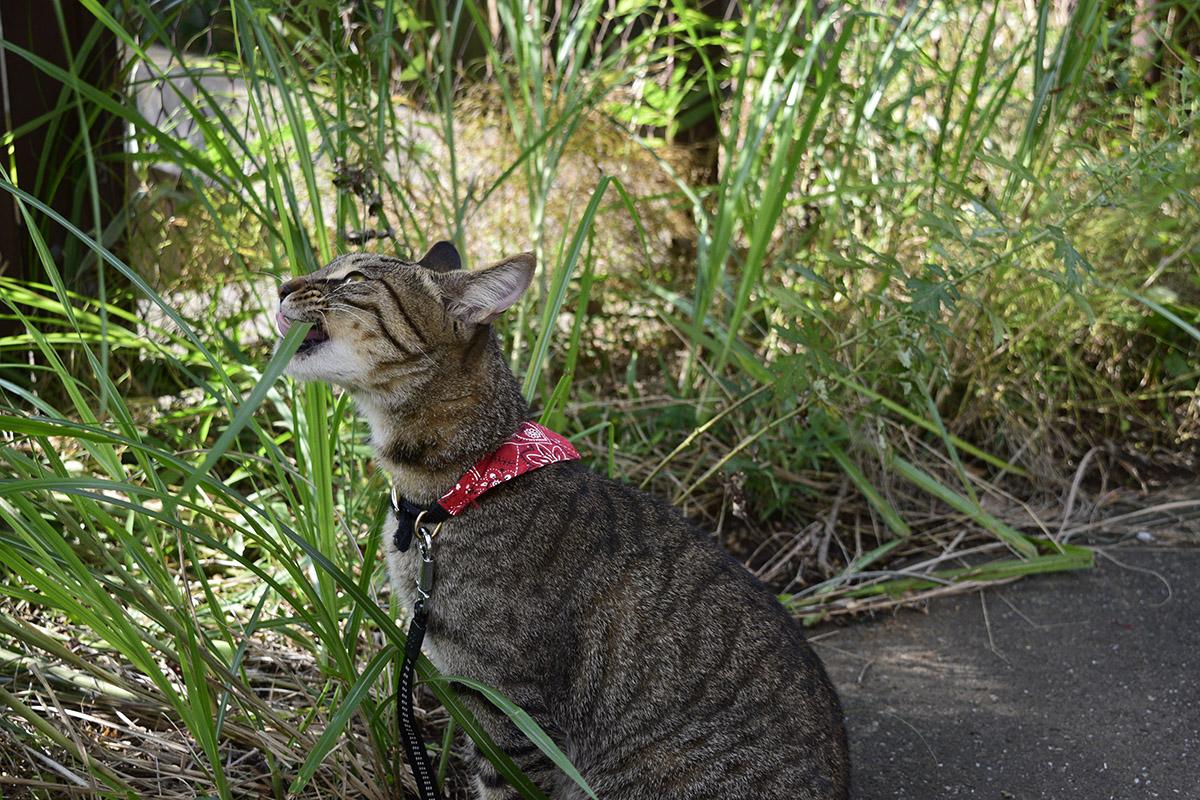 草に気が付いて食べ始めるキジトラ猫の虎ノ介