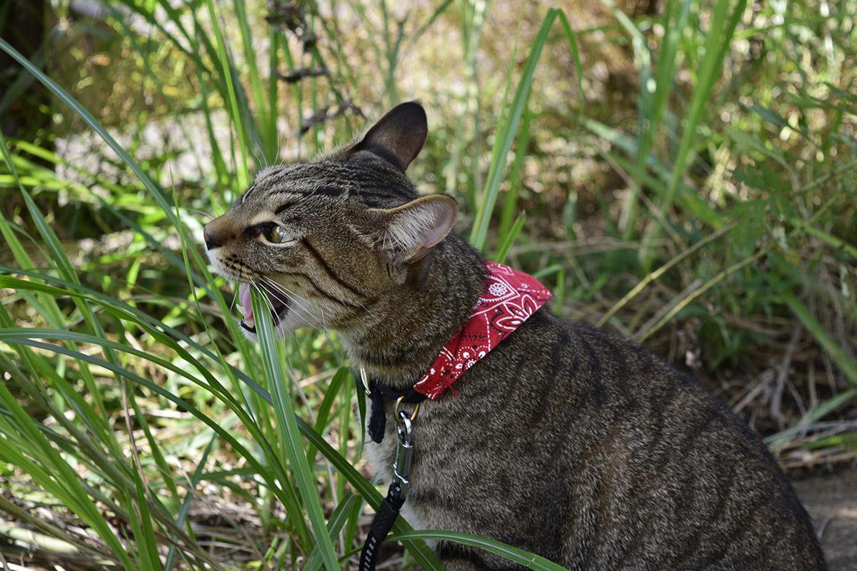 草を満喫するキジトラ猫の虎ノ介