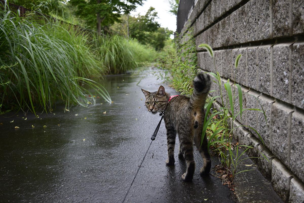 雨の中人間を散歩に連れていくキジトラ猫の虎ノ介