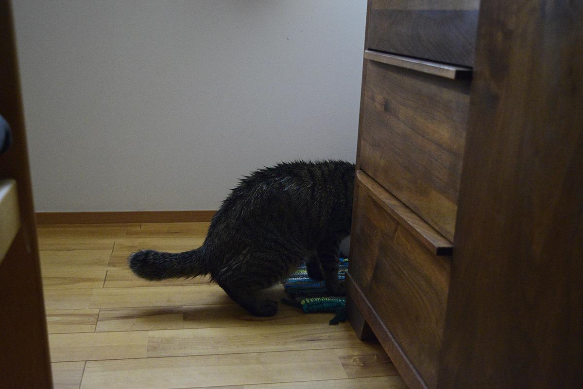 帰ってきて濡れたままご飯を食べるキジトラ猫の虎ノ介
