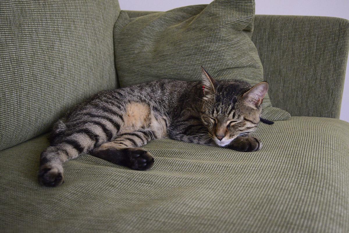 エアコンで体を乾かすキジトラ猫の虎ノ介