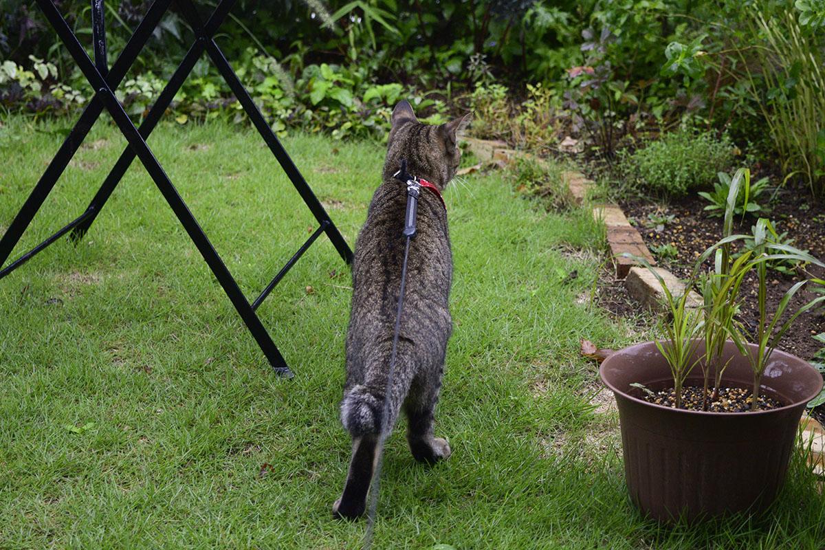 台風の中庭へでるキジトラ猫の虎ノ介