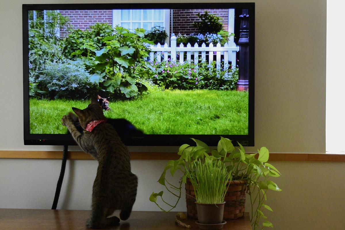 ネコ歩きをみて画面に反応する虎ノ介
