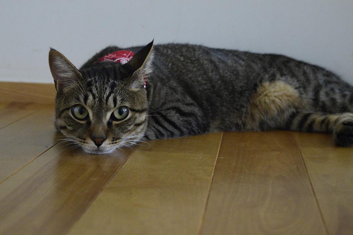 退屈そうなキジトラ猫の虎ノ介