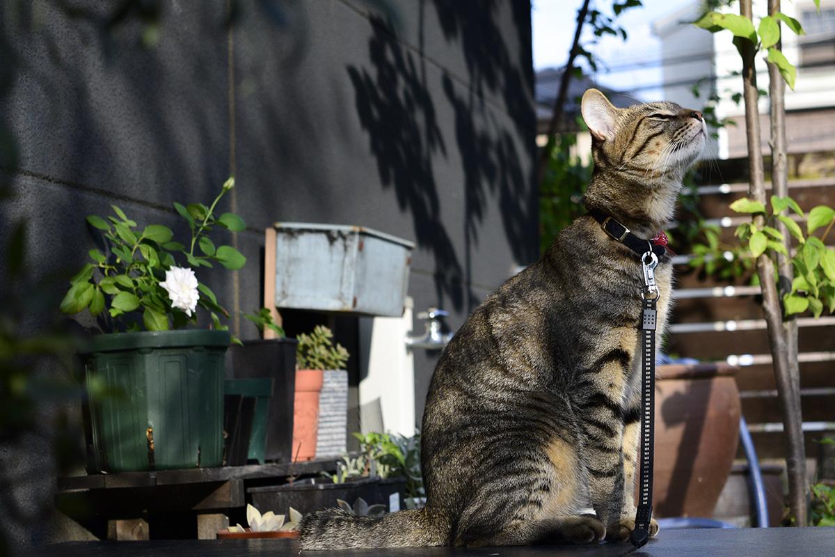 スンスンするキジトラ猫の虎ノ介