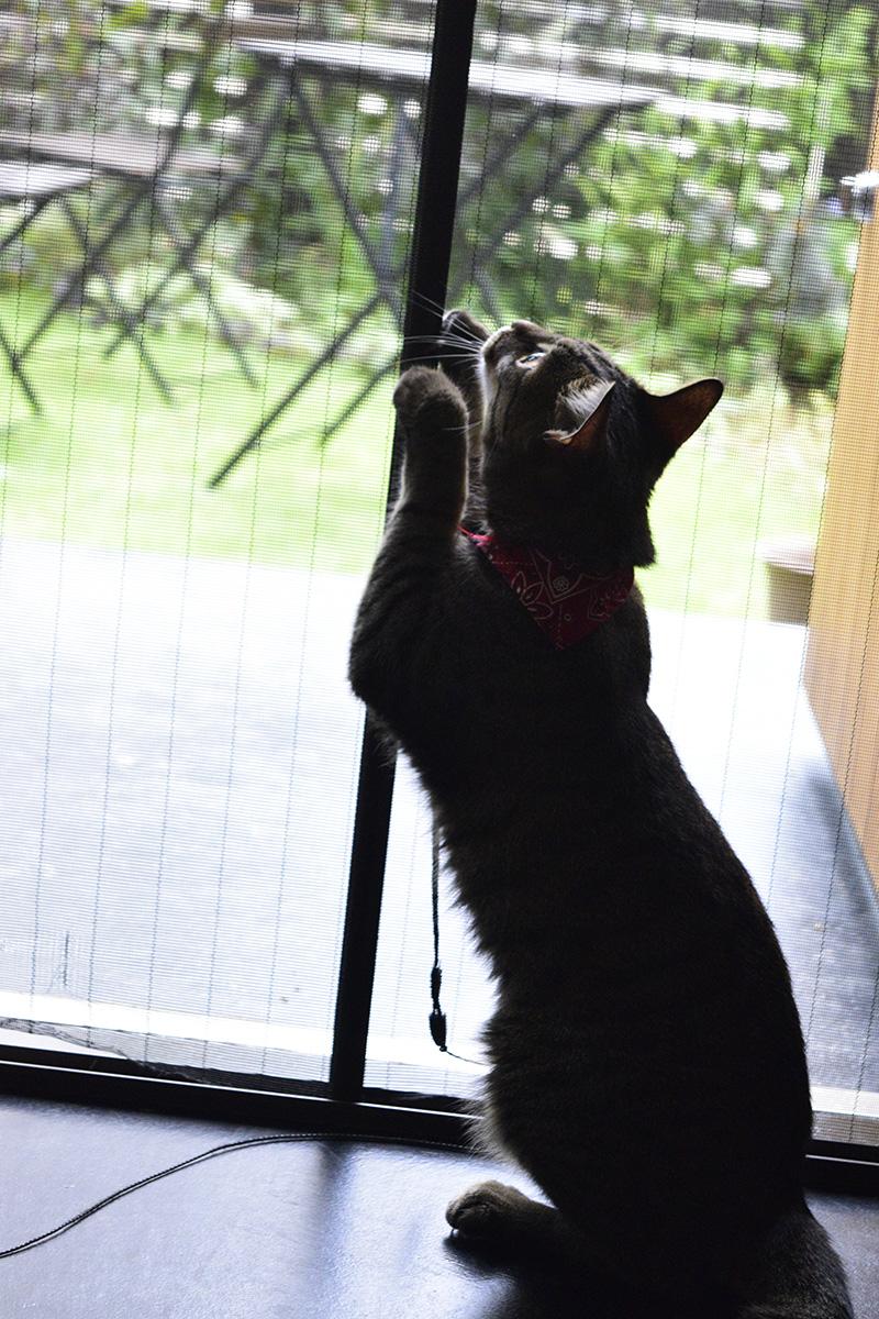 網戸の前で何かを狙うキジトラ猫の虎ノ介