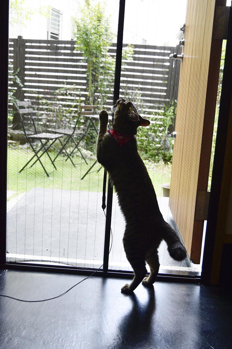網戸を破壊しようとするキジトラ猫の虎ノ介