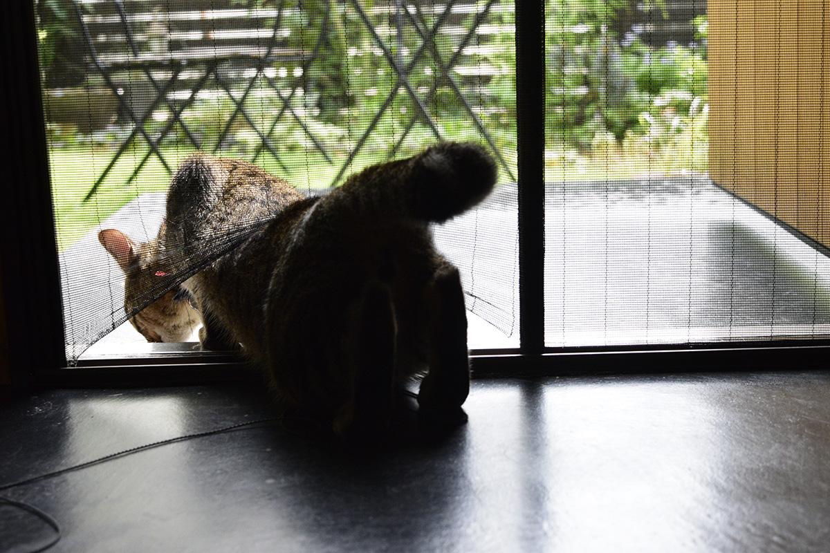 網戸を潜り抜けるキジトラ猫の虎ノ介