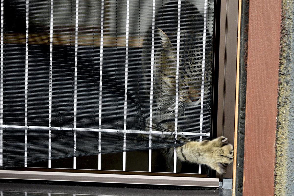 フェンスの隙間から脱走しようとするキジトラ猫の虎ノ介