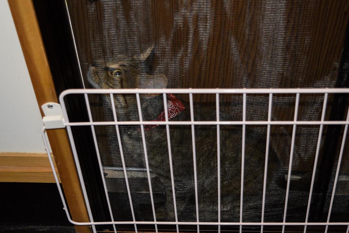 網戸とフェンスの間に挟まった虎ノ介