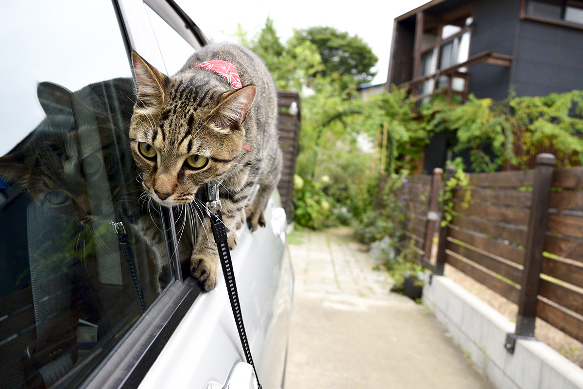 車の窓のへりを歩くキジトラ猫の虎ノ介