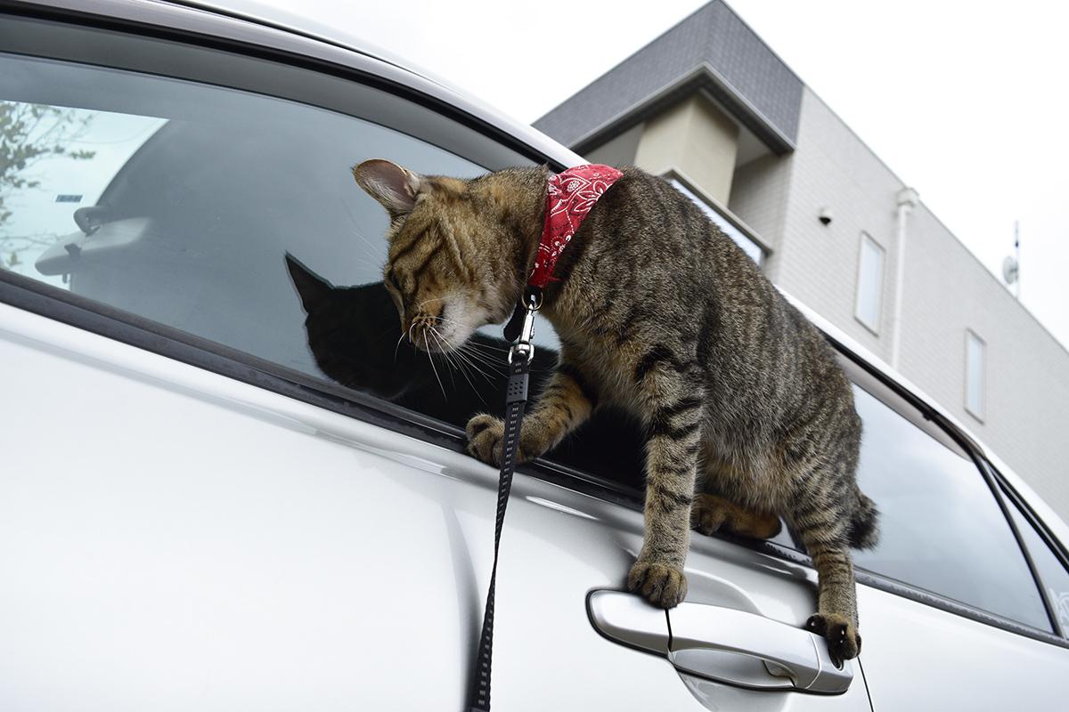 窓のヘリにのって車を覗くキジトラ猫の虎ノ介
