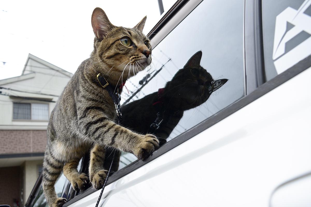 車に乗りたくて窓の縁を歩く虎ノ介