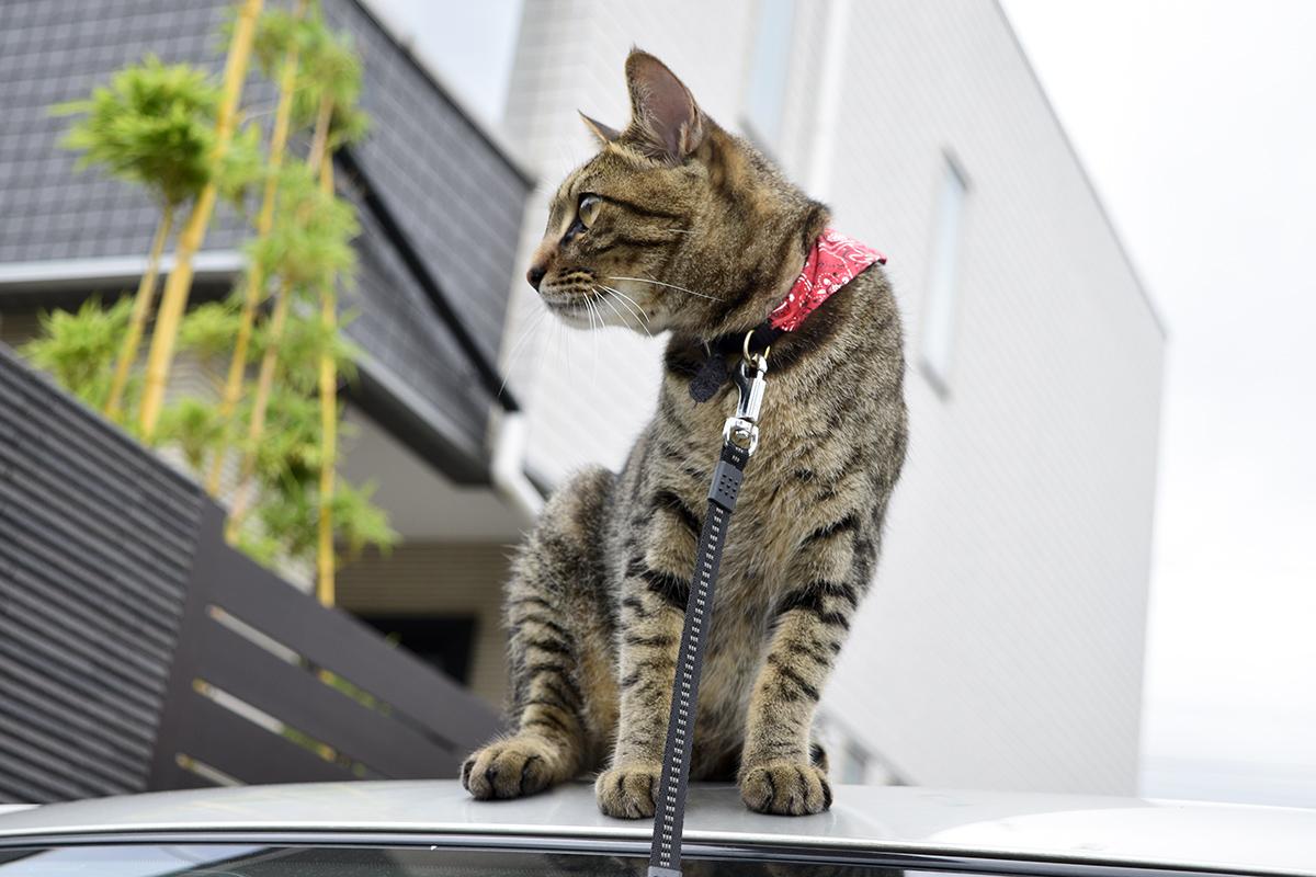 車の屋根の上に乗るキジトラ猫の虎ノ介
