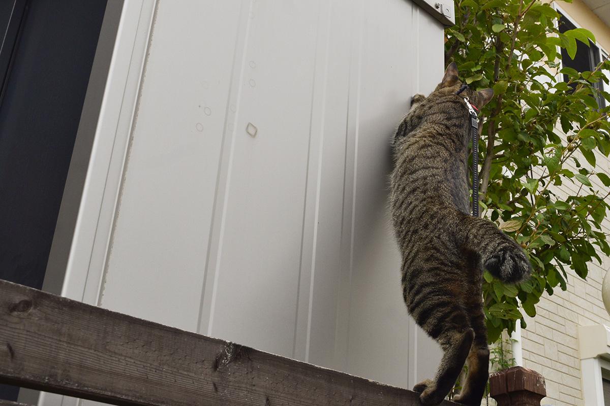 蝉を捕まえたくてフェンスの上で立ち上がるキジトラ猫の虎ノ介