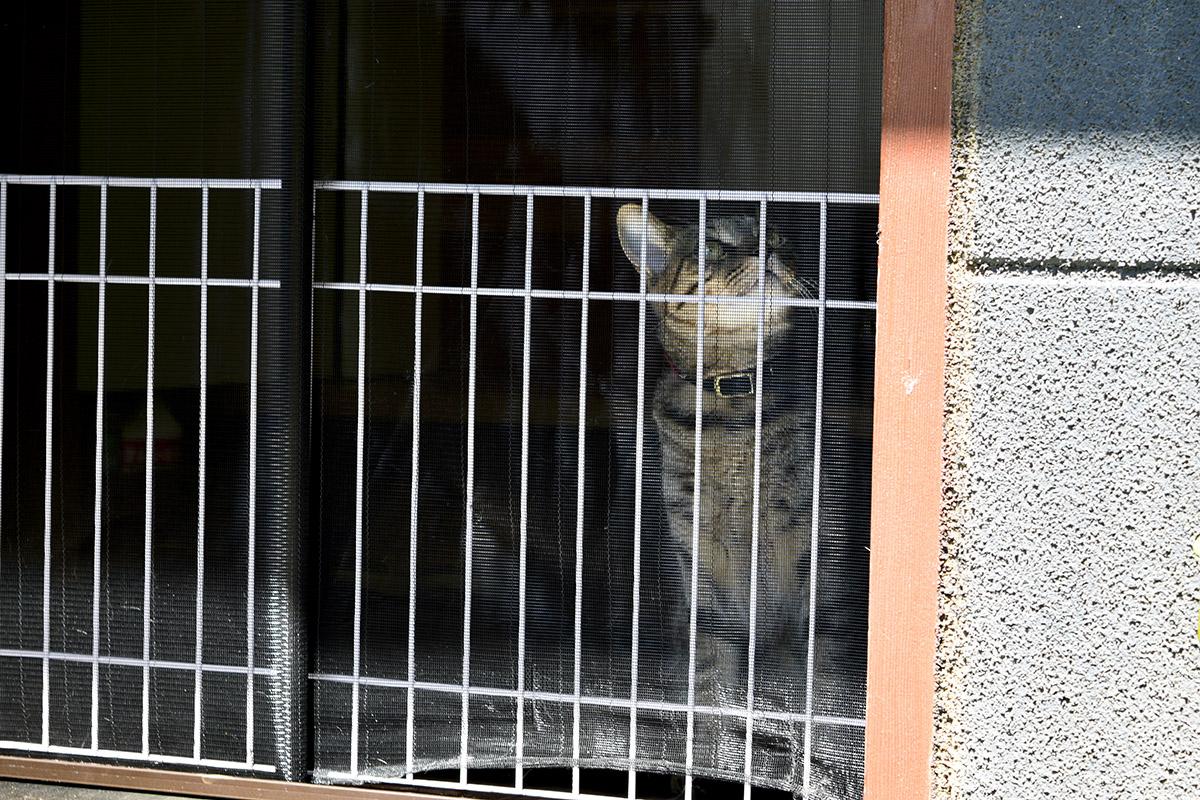 網戸を見上げるキジトラ猫の虎ノ介