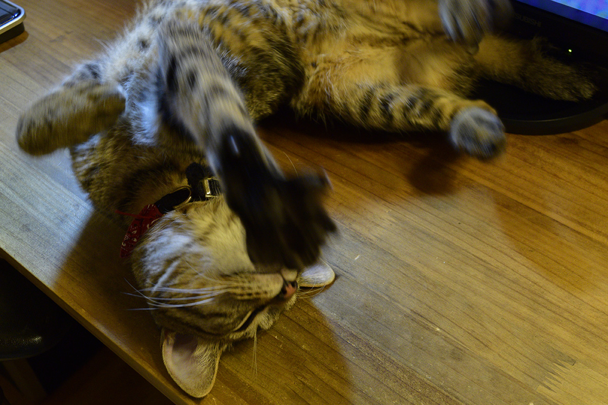 机の上で退屈アピールをするキジトラ猫の虎ノ介