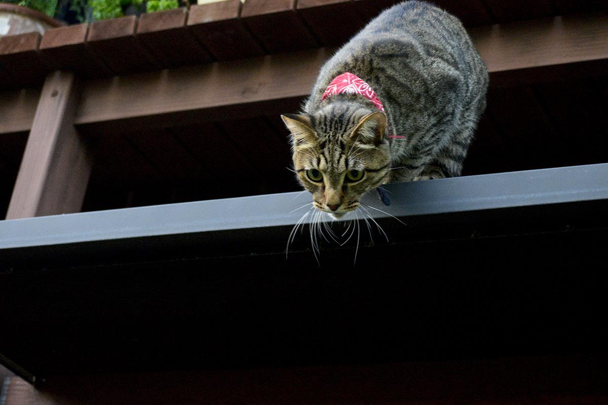 かまってもらえなくて脱走するキジトラ猫の虎ノ介