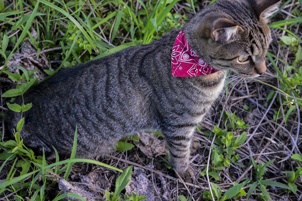 しましま模様のキジトラ猫の虎ノ介