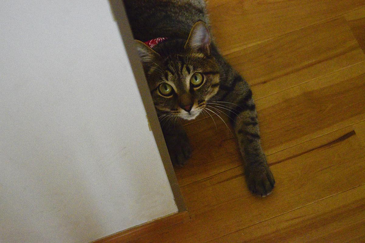 コーナーから覗くキジトラ猫の虎ノ介