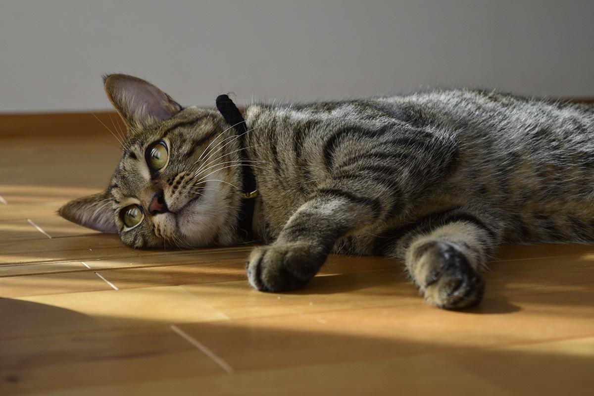 考えるキジトラ猫の虎ノ介