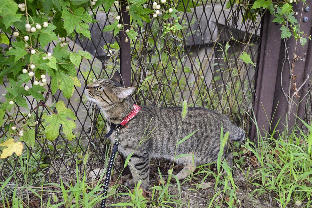 実の匂いを嗅ぐキジトラ猫の虎ノ介