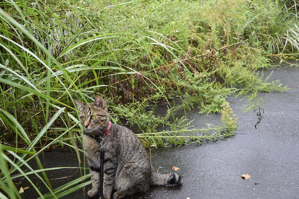 蝉がみつからなくてしょんぼりするキジトラ猫の虎ノ介