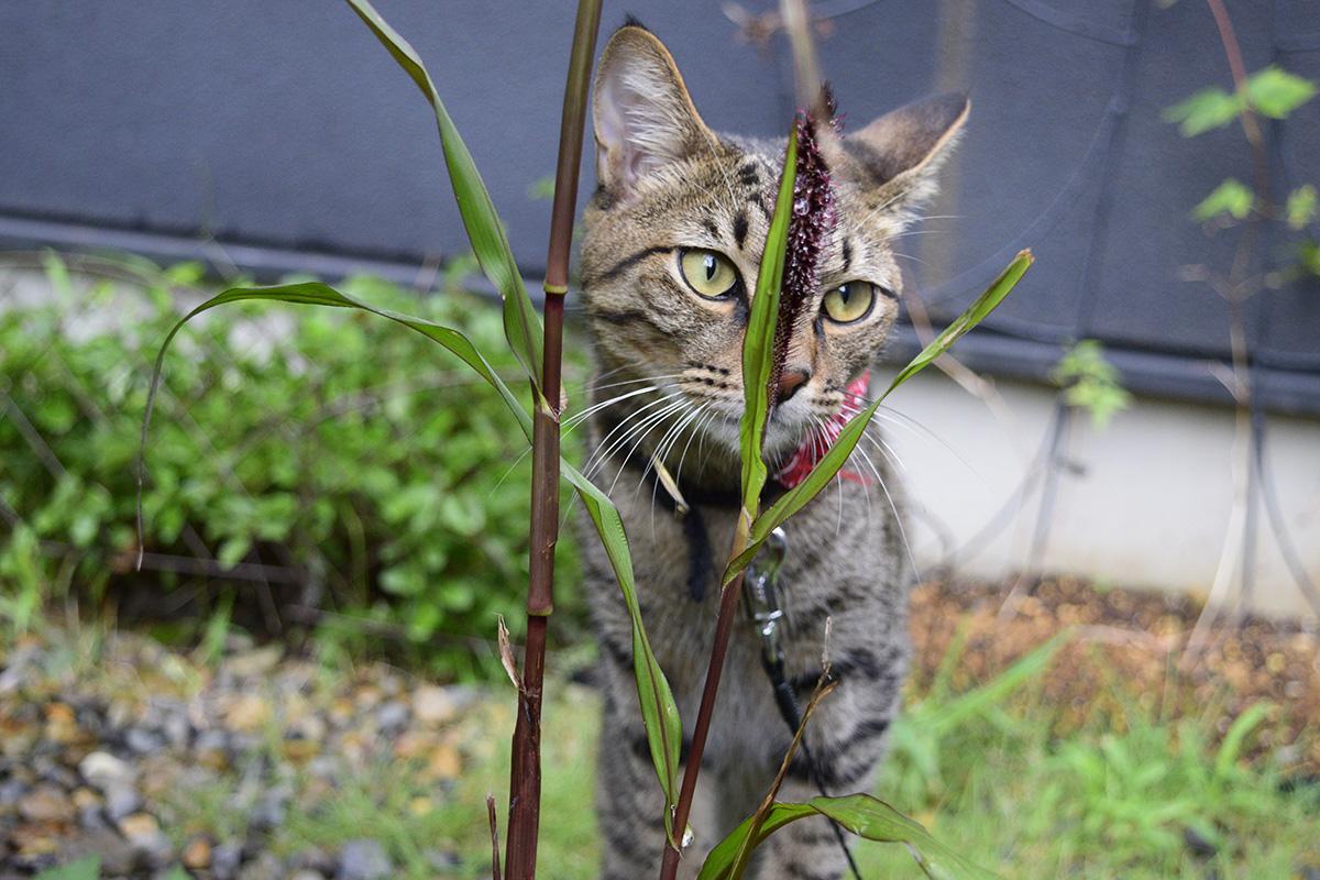 ミレットにそっぽを向くキジトラ猫の虎ノ介