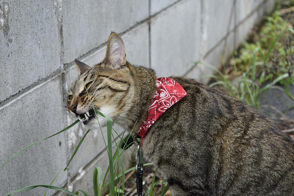 オヒシバに食らいつくキジトラ猫の虎ノ介