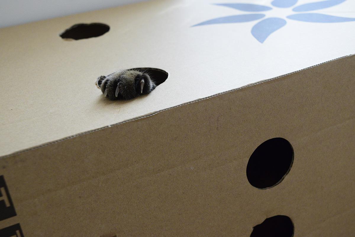 箱から爪をだしながら手を出すキジトラ猫の虎ノ介
