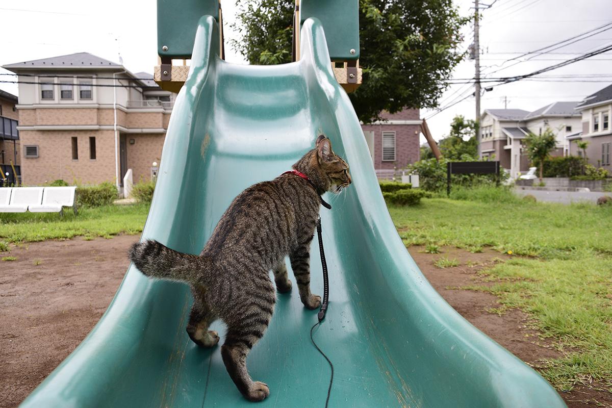 滑り台に逆から登れなくて悔しがるキジトラ猫の虎ノ介