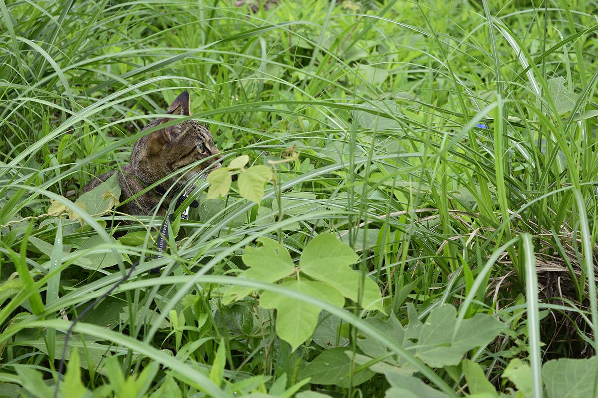草むらに隠れるキジトラ猫の虎ノ介