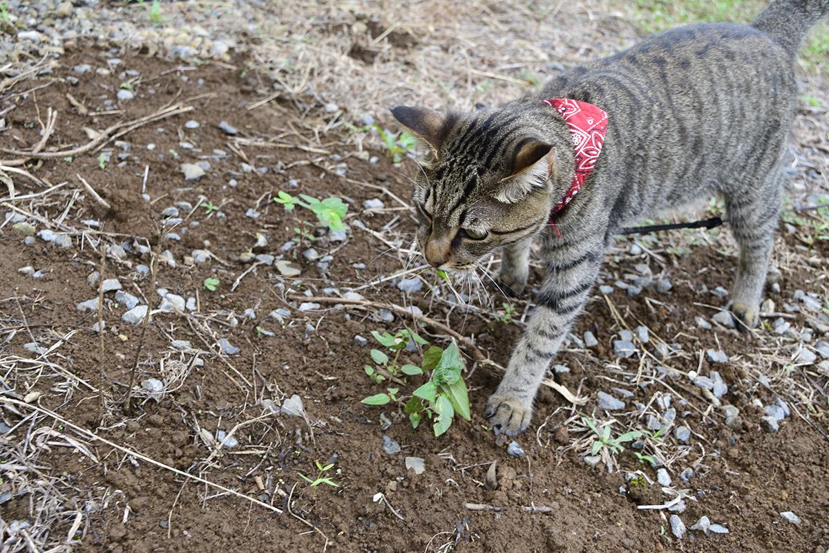 空き地でバッタを捕まえるキジトラ猫の虎ノ介