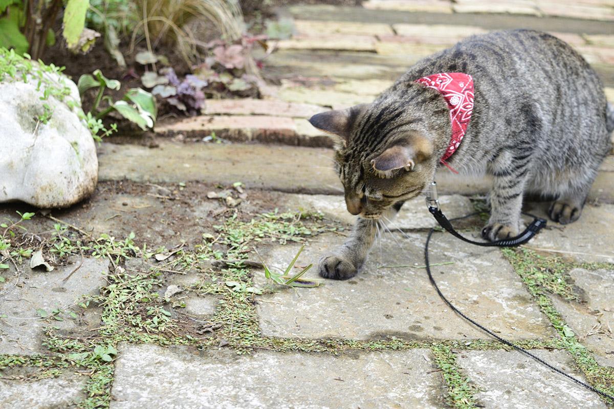アプローチでバッタを追いかけるキジトラ猫の虎ノ介