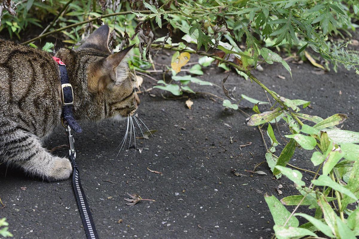 路上でセミをみつけて捕まえるキジトラ猫の虎ノ介