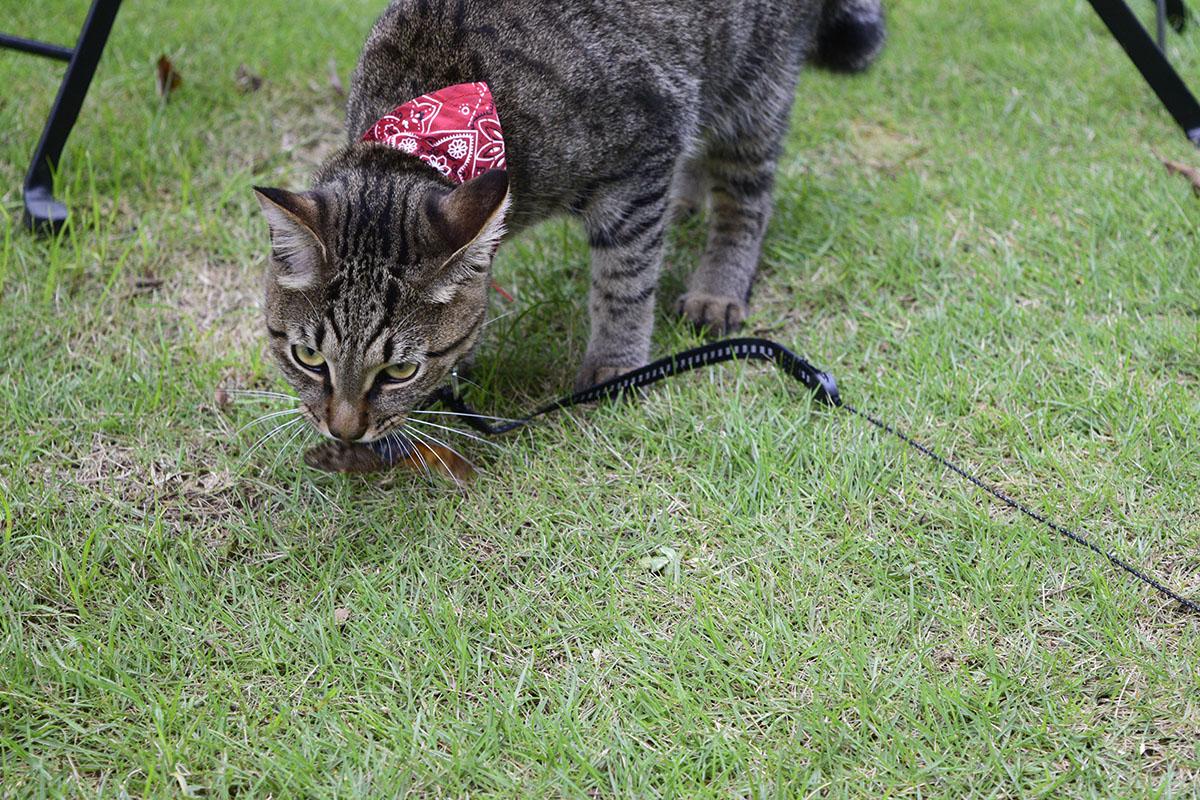 家の庭までセミを運んできたキジトラ猫の虎ノ介