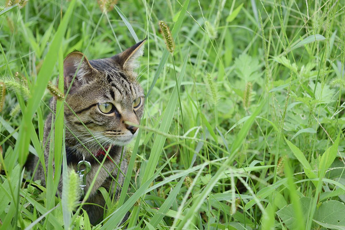 猫じゃらしに囲まれるキジトラ猫の虎ノ介