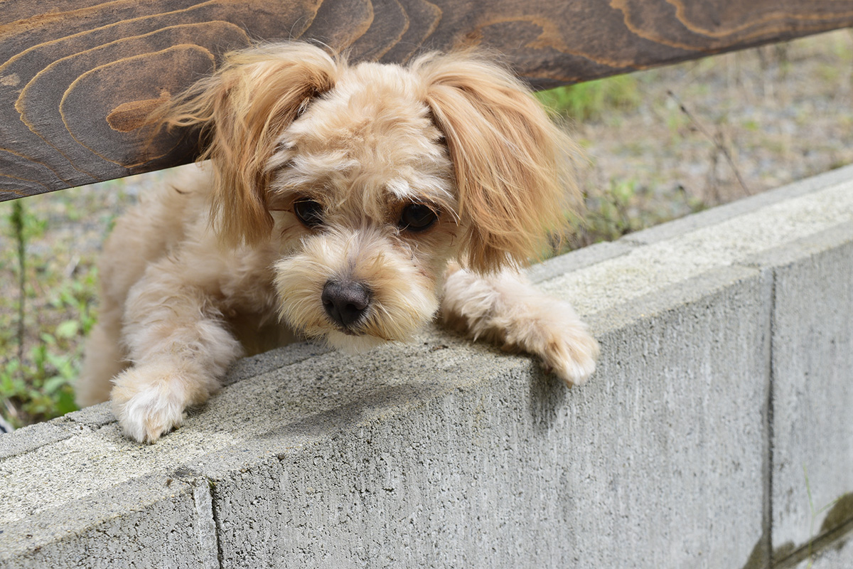 フェンスの隙間から顔を出すお隣の犬