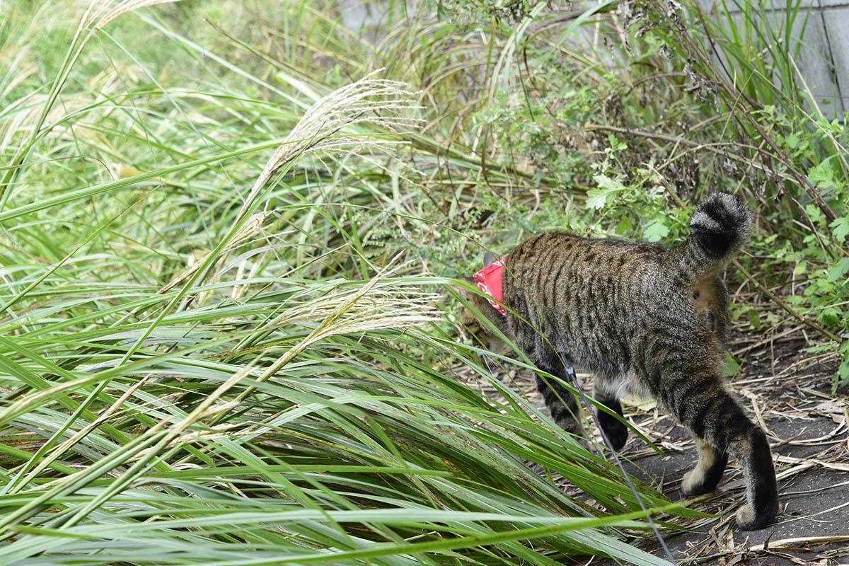 お隣さんをストーキングするキジトラ猫の虎ノ介