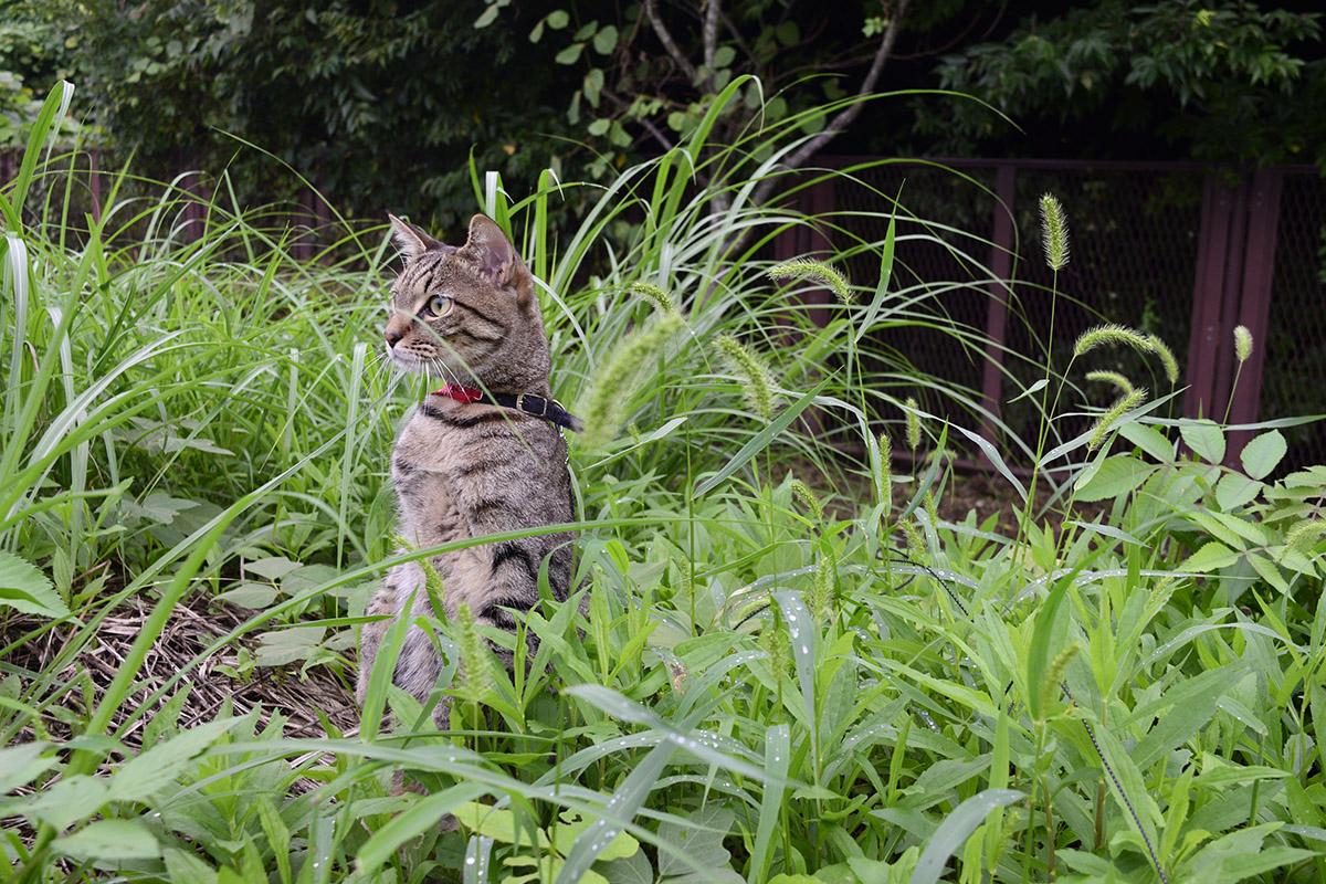 草むらで立ち上がるキジトラ猫の虎ノ介