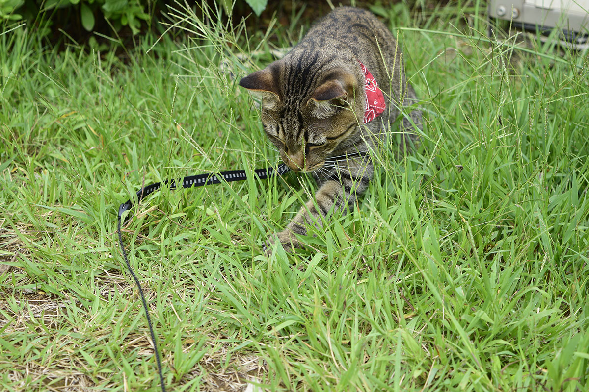 バッタを探すキジトラ猫の虎ノ介