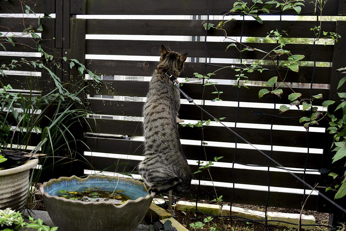 水鉢に足をかけるキジトラ猫の虎ノ介