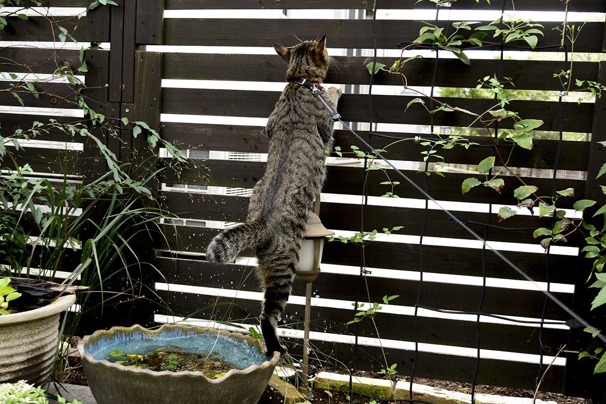 フェンスにのぼろうとして水鉢に落ちた虎ノ介