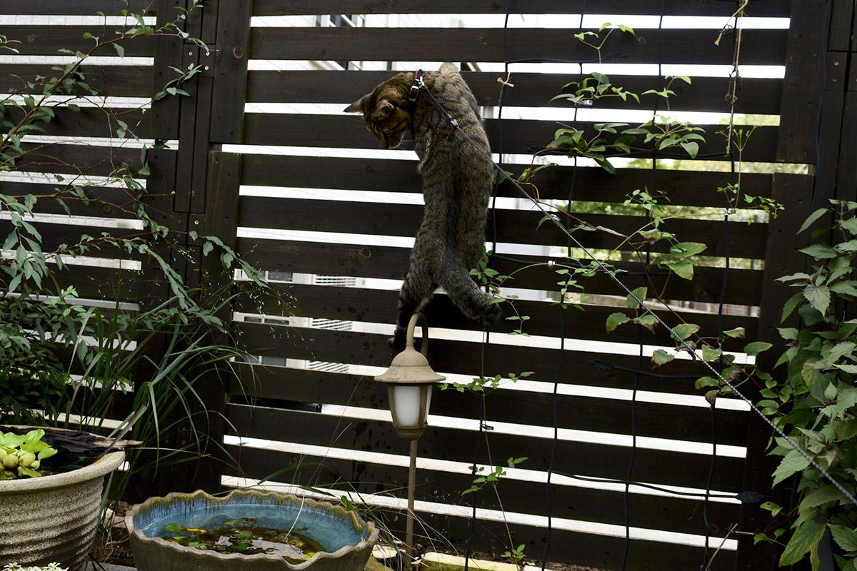 振り返りキジトラ猫の虎ノ介