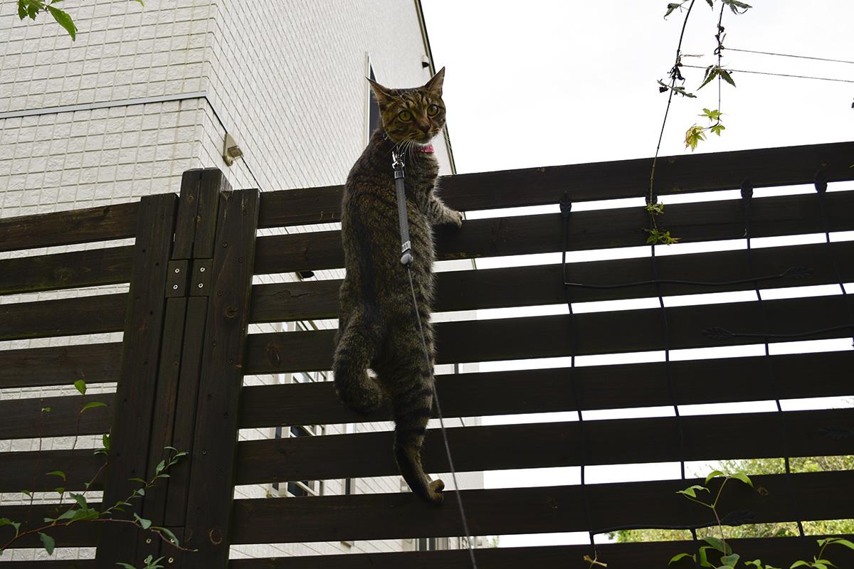 リードを引っ張られて振り返るキジトラ猫の虎ノ介