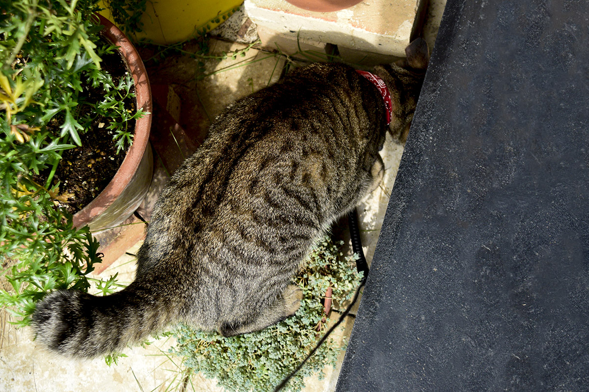 ヘビをみつけたキジトラ猫の虎ノ介